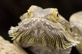 Australian Bearded Dragon - Pogona Vitticeps