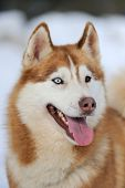 image of husky sled dog breeds  - Siberian young husky dog portrait in winter - JPG