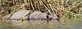picture of hippopotamus  - Group of hippopotamus  - JPG