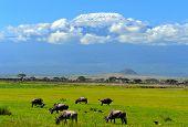 image of wildebeest  - Wildebeest in the National Reserve of Africa Kenya - JPG