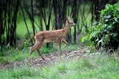 picture of roebuck  - Young roe deer standing in summer forest - JPG
