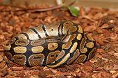 image of pythons  - Ball Python  - JPG