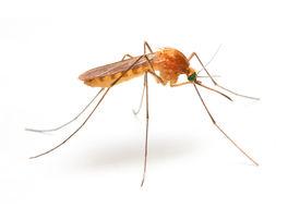 foto of gnat  - Anopheles mosquito - JPG