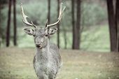 pic of domination  - Majestic powerful adult male red deer stag in autumn fall forest - JPG