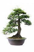 stock photo of bonsai  - Bonsai pine tree against a white wall - JPG