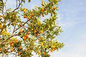 picture of kumquat  - Branch of mini oranges  - JPG