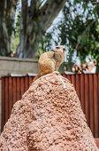 image of meerkats  - Meerkat sitting and looking back - JPG