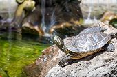 picture of terrapin turtle  - Two turtles - JPG
