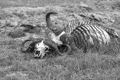 picture of cow skeleton  - The buffalo Skull in Savannah - JPG
