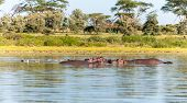 picture of amphibious  - Group of hippopotamus in water - JPG