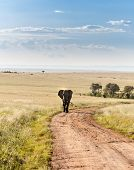 pic of enormous  - One african elephant walking in the savanna - JPG
