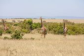stock photo of grassland  - Three giraffe standing in grassland with blue sky background - JPG
