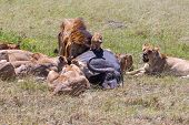picture of african lion  - Lions Feeding  - JPG