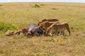 picture of female buffalo  - Lions Feeding  - JPG
