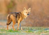 image of jackal  - Wild Golden Jackal in morning sunrise light - JPG