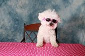 foto of bichon frise dog  - A pure breed Bichon Frise is One Cool Cat in her styling Sun Glasses  - JPG