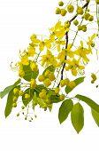 stock photo of vishu  - Golden Shower Tree Yellow flowers in the tropics Thailand isolated on white - JPG