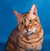 stock photo of bengal cat  - Red Bengal cat sitting on blue background - JPG