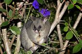stock photo of possum  - Possum sits on a forest tree branch at night in New Zealand - JPG