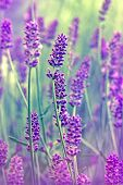 foto of lavender plant  - Beautiful lavender flower close - JPG