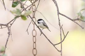 image of chickadee  - Carolina Chickadee  - JPG