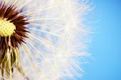 picture of dandelion seed  - Beautiful dandelion with seeds on blue background - JPG