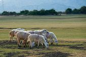 foto of steppes  - A herd of sheep in steppe in Ninh Thuan - JPG