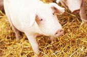 picture of pig-breeding  - One young piglet on hay and straw at pig breeding farm - JPG