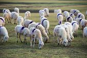 picture of steppes  - A herd of sheep in steppe in Ninh Thuan - JPG