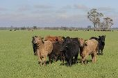 picture of pasture  - closeup of young cattle standing in a lush grass pasture - JPG