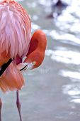 foto of flamingo  - Close up of a pink flamingo in a French park - JPG