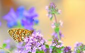 image of monarch  - Monarch Butterfly in summer time - JPG