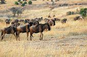 stock photo of wildebeest  - Beautiful african landscape with wildebeest antelopes in Masai Mara Kenya at sunset time - JPG