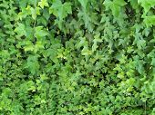 stock photo of ivy  - Bright green ivy covering a the surface of a building - JPG