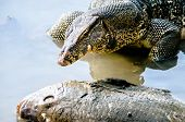 foto of lizard skin  - Water monitor lizard in the lake (varanus, animal, lizard)