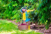 foto of cherry trees  - Kids picking cherry on a fruit farm - JPG