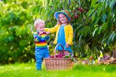 picture of cherry trees  - Kids picking cherry on a fruit farm - JPG