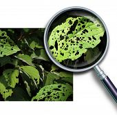 image of worm  - Plant disease concept as a group of damaged leaves with holes caused by garden pests as worms and bug larvae with a magnifying glass close up of a green diseased leaf - JPG