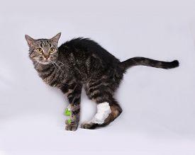 picture of catheter  - Striped sick cat catheter in leg standing on gray background - JPG