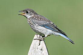 picture of bluebird  - Baby Eastern Bluebird  - JPG