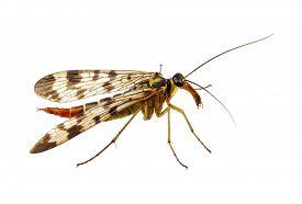 stock photo of gnat  - Mosquito isolated on white background - JPG