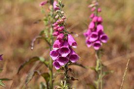 stock photo of digitalis  - Common Foxclove flowers  - JPG