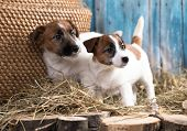Puppy breed  tvo Jack Russell Terrier portrait dogs poster