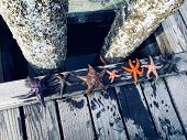 A Diverse Group Of Starfish Lined Up Along The Docks Of Comox, British Columbia, Canada. poster