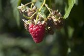 Growing Juicy Red Raspberries On A Branch, Natural Growing Juicy Red Raspberries On A Branch, Photo, poster