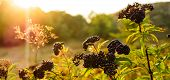 Clusters Fruit Black Elderberry In Garden In Sun Light (sambucus Nigra). Common Names: Elder, Black  poster