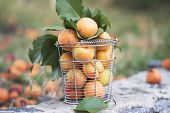 Bucket  With Ripe Apricots On Green Background. Ripe Apricots poster
