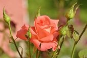 Beautiful Pink Rose In A Garden. Beautiful Pale Pink Rose Macro With Bokeh. Small Pink Roses In The  poster