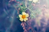 Macro Of Beautiful Romantic Forest Dreamy Magic Yellow Flower With Blue Purple Background. Toned Wit poster