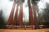 stock photo of redwood forest  - Sequoia National Park in USA - JPG